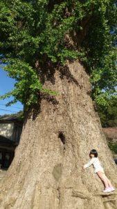 有田の大公孫樹